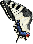 butterfly left wing