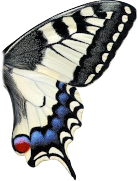 butterfly right wing